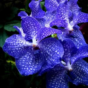 vanda-orchids-shirley-sirois