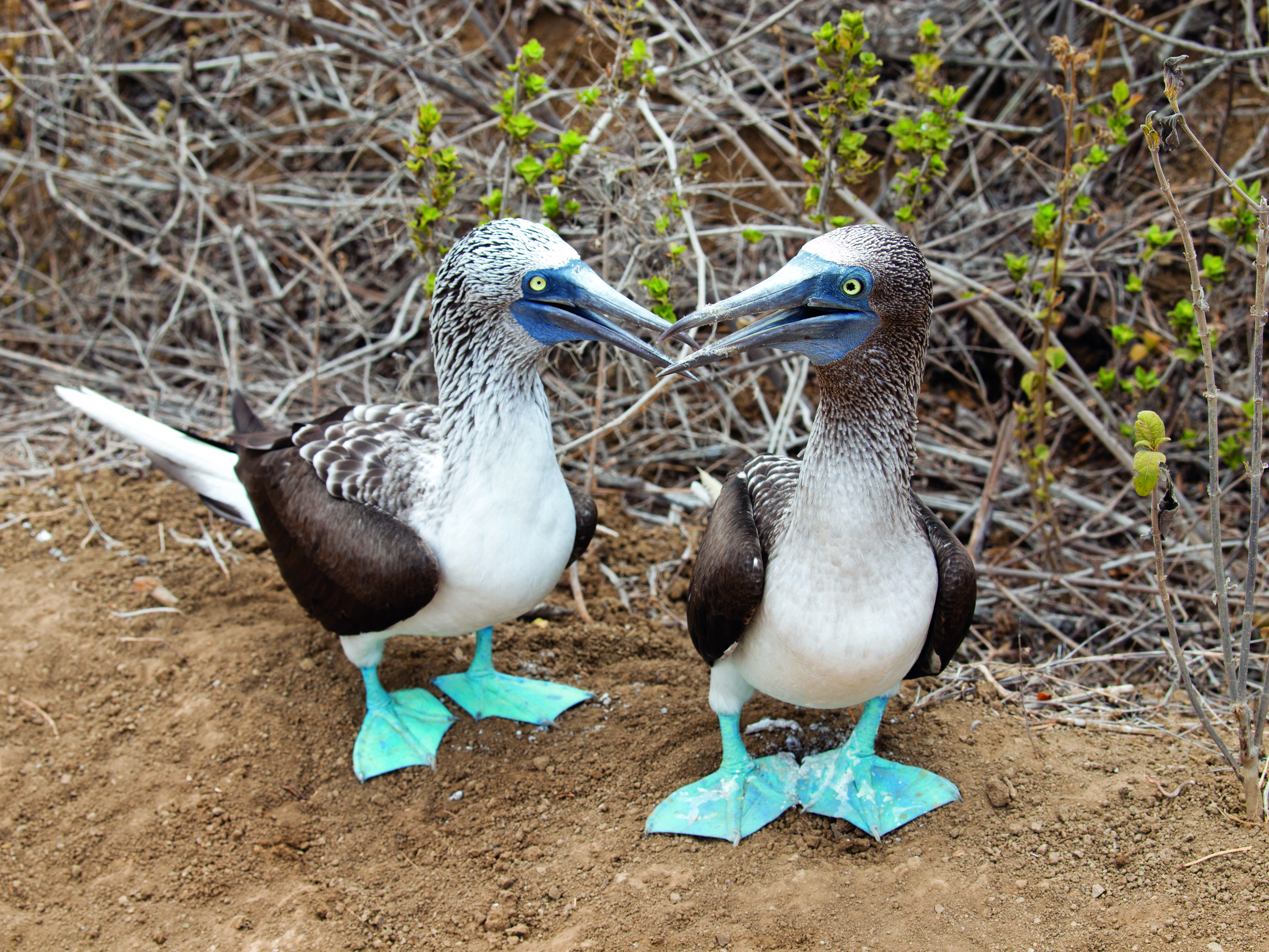 blue footed booby bee bop the secret language of color